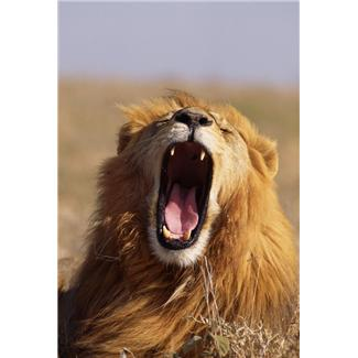 Remember that you imagined this fierce lion so you own him. Grin cheekily then walk up and pull his beard!
